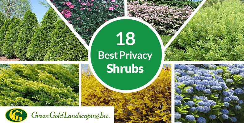 18 Best Privacy Shrubs And Fast Growing Privacy Plants You